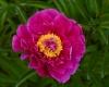 BaltaiedisbijnaspaeonialactifloraAgida5-2400