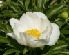 BaltaiedisbijnaspaeonialactifloraJohnvanJeeuwen2-2400