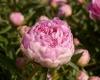 BaltaiedisbijnaspaeonialactifloraVenus_-2400