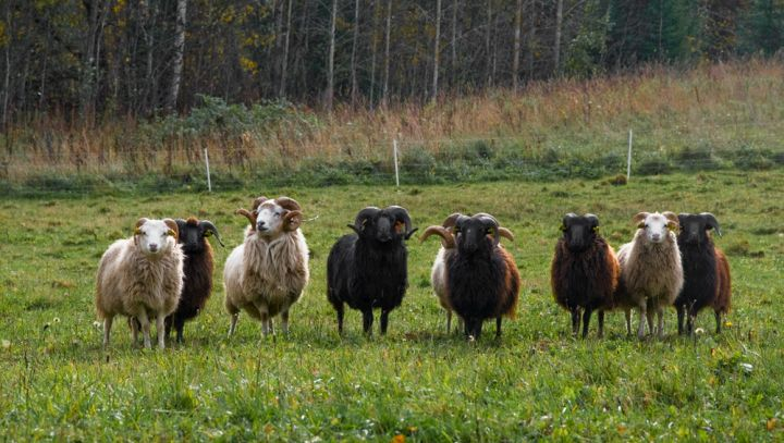 Škudžių veislės avinai