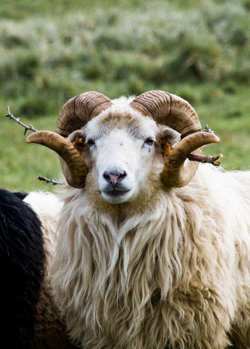 Škudžių veislės avinas