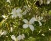 Clematis Grandi flora Alba