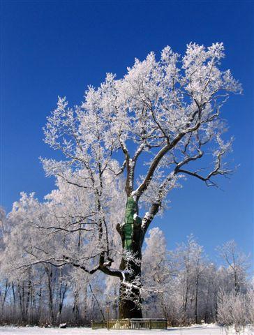 Buivėnų ąžuolas – vienas aukščiausių Lietuvoje, Gražinos Barzdžiukaitės nuotr.