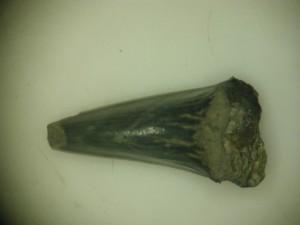 Vienas iš rastų dantų priklauso neatpažintos rūšies rykliui