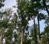 Bekočio ąžuolo medynas