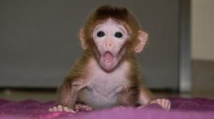 Beždžionėlė iš skirtingų embrionų