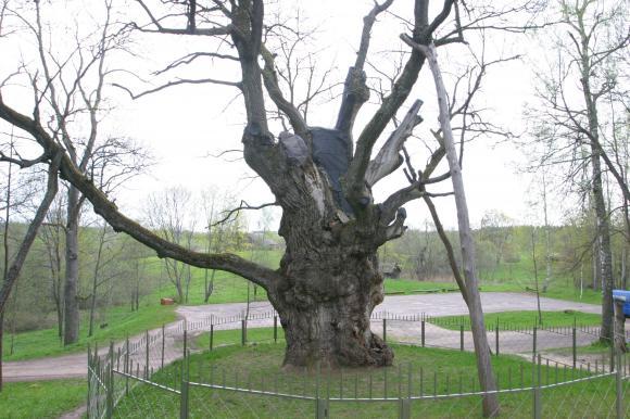 Stelmužės ąžuolas |K.Driskiaus nuotr.
