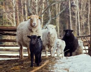 Škudžių veislės avys