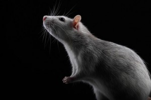 Žiurkės prisideda prie leptospirozės platinimo | efoto.lt, D.Milbuto nuotr.