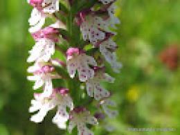 Smulkiažiedė gegužraibė – orchidėjų rūšies augalas, Valstybinės saugomų teritorijų tarnybos nuotr.