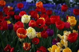 Burbiškio dvaro tulpės | efoto.lt
