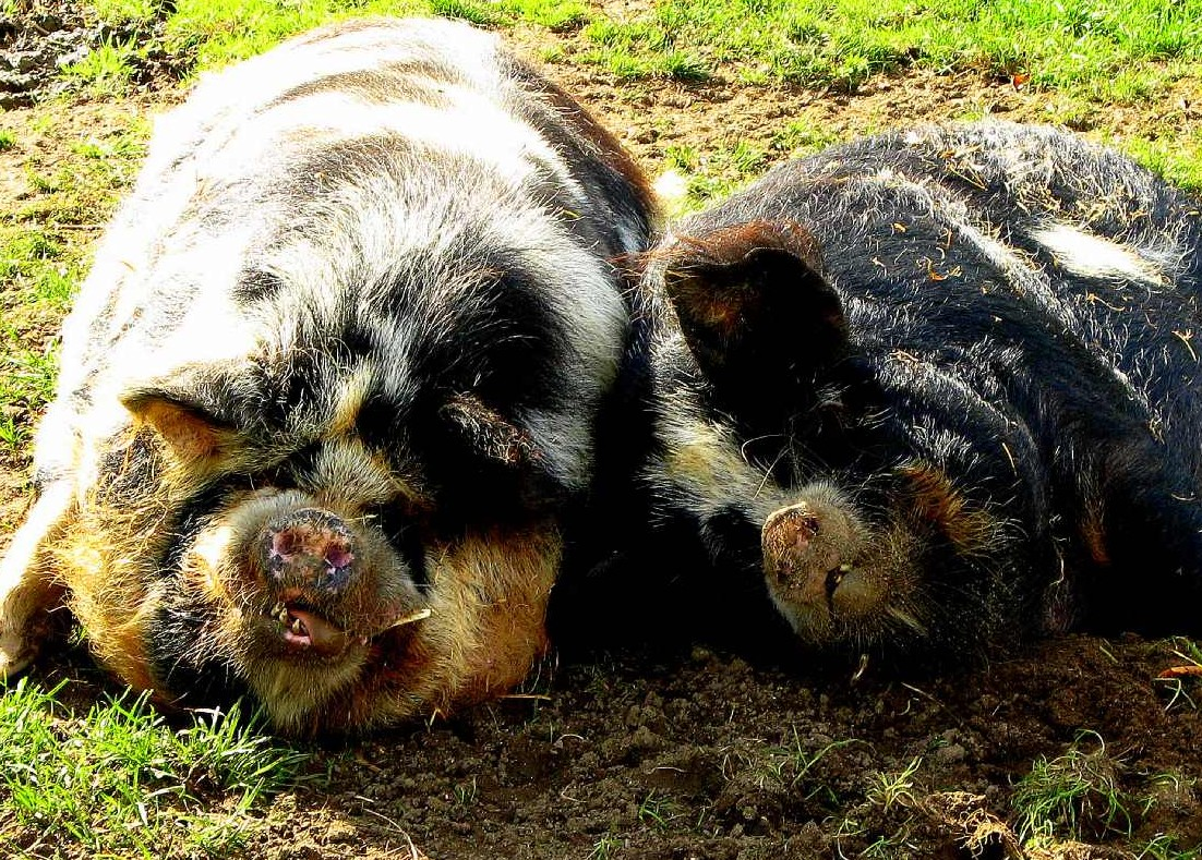 Kiaulės | A.Pranno nuotr. efoto.lt
