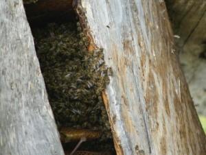 Drevėje gyvena bitės | Valstybinės saugomų teritorijų tarnybos nuotr.