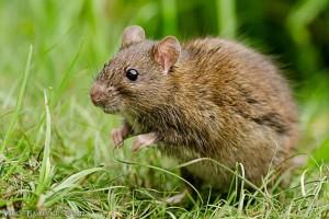 Pilkoji žiurkė | efoto.lt, V.Paškevbičiaus nuotr.