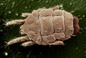 Geltonoji erkė (Lorryia formosa) | wikipedia.org nuotr.