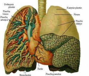 Plaučių sandara, wikipedia.lt nuotr.