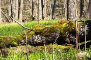 Dūkšto ąžuolynas – tinkama buveinė ne vienai saugomai rūšiai | A.Jefanovo nuotr.