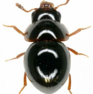 Labai retas vabalas – Agathidium nigrinum, Lietuvoje aptiktas pirmą kartą.
