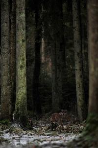 Žemaitijos vilkas | A.Stapono.nuotr.