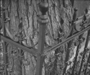 Įkalintas medis, Bernardinų kapinės, 2013 04. | D.Lebeckio nuotr.