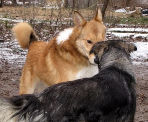 Šunys susiuosto