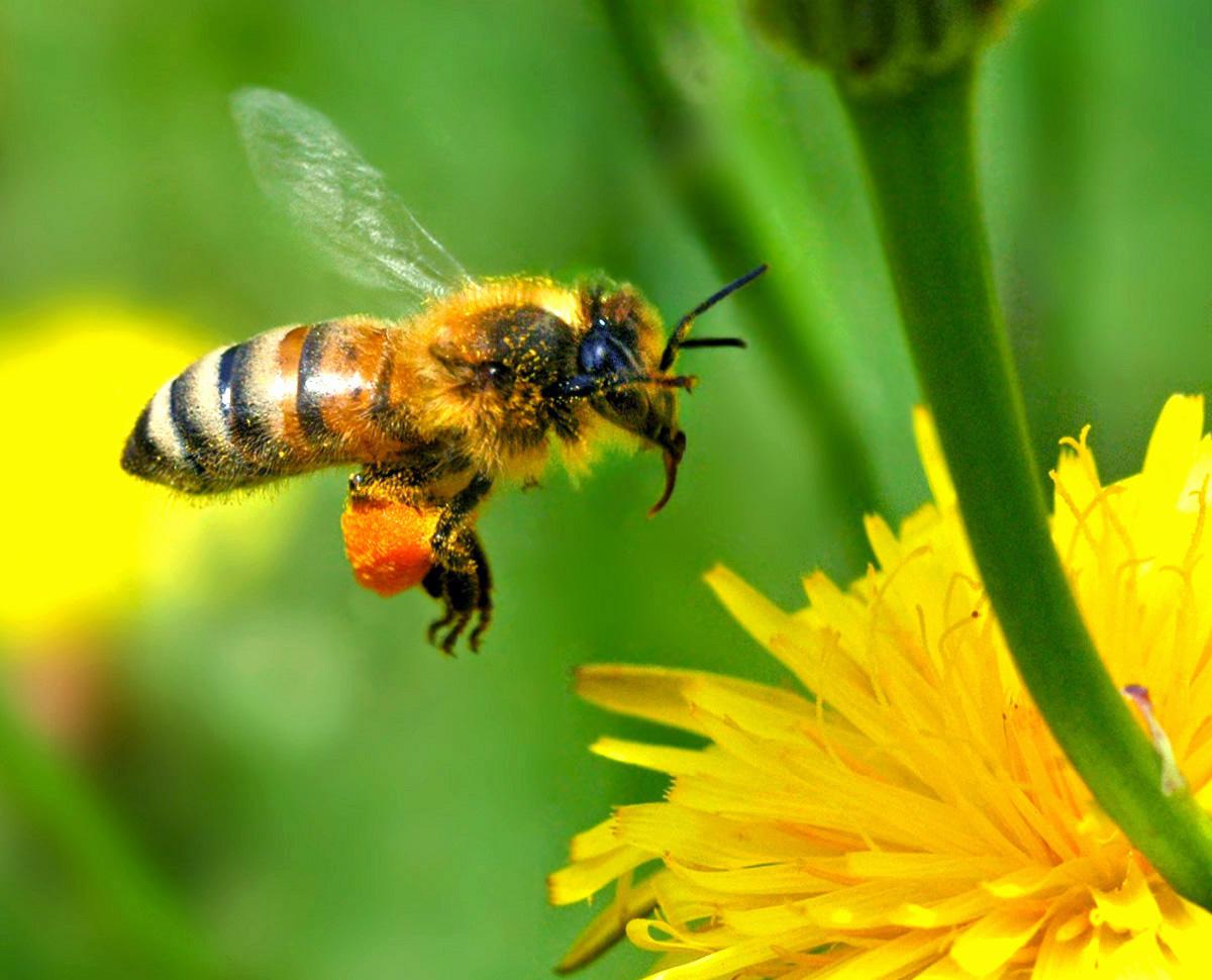 Man įgėlė varpoje bitė