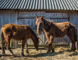 Žemaitukai   zirgugloba.lt nuotr.