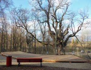 Stelmužės ąžuolas   Zarasų rajono savivaldybės nuotr.