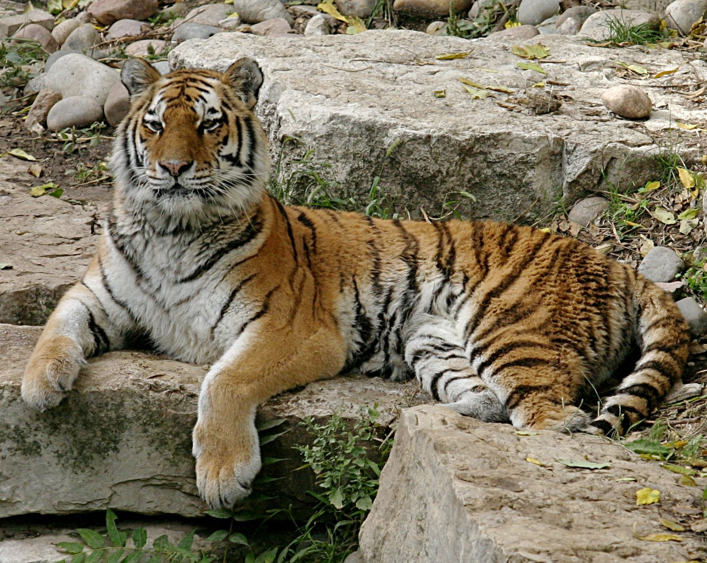 Tigras | technologijos.lt nuotr.