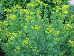 Žalioji rūta | augalai.info nuotr.