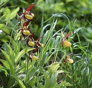 Plačialapė klumpaitė (Cypripedium calceolus) | wikimedija.org nuotr.