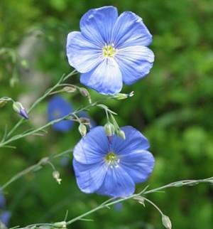 linai_botanikos-sodas.vu.lt