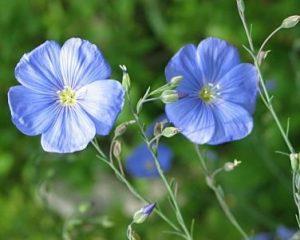 Linai | botanikossodas.vu.lt nuotr.