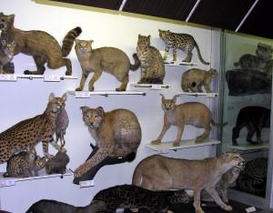 T.Ivanausko_zoologijos_muziejus_wikipedija.org