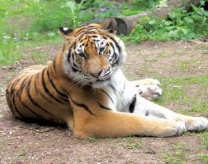 Tigras_Lietuvos zoologijos sodo nuotr.