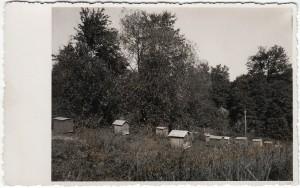 """6. Bitynas, """"Dadano"""" avilys – pirmas iš kairės Vieta nežinoma. Nuotrauka iš asmeninės Petro Kaminsko kolekcijos."""