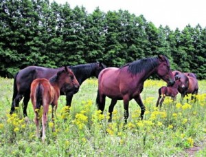 Zirgai.K.Driskiaus nuotr