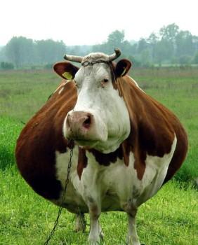 Karvė | Uncyclopedia.wikia.com nuotr.