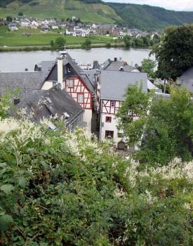 Beilstein, Vokietija. Gaivos Paprastosios nuotrauka.