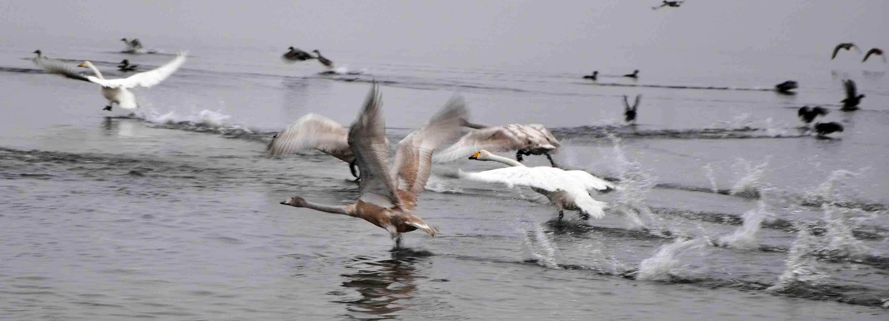 Žuvinto biosferos rezervato ir Metelių regioninio parko prieigose 400 kV elektros energijos perdavimo linija LitPol Link kerta daugiau nei 25 Berno konvencijos saugomų paukščių rūšių buveines ir migracijos takus. Kartu su kitomis, sovietiniu laikotarpiu nevykusiai pastatytomis linijomis, ji daugelį dešimtmečių bus šių paukščių žudiku.Nuotraukoje- migruojančios gulbės giesmininkės | Rudaminos bendruomenės nuotr.