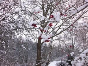 R.Ragauskaites nuotr. apsniges medis su uogomis