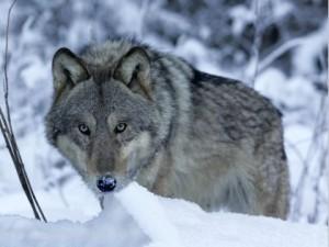 Vilkas_Valdo Augustino nuotr.vilkai.lt