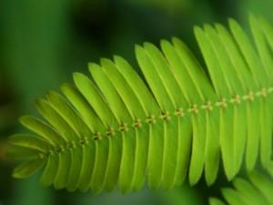 Mimoza (lot. Mimosa) | botanika.vdu.lt nuotr.