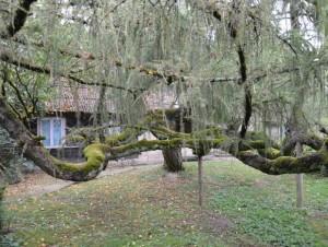 Dabulevičių maumedis – išties įspūdingas medis | VSTT archyvo nuotr.