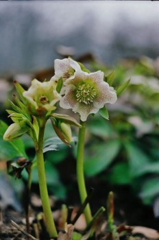 Kaukazinis eleboras_kauno botanikos sodas