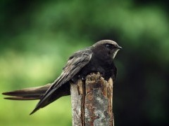 juodasis.ciurlys_birdlife.lt