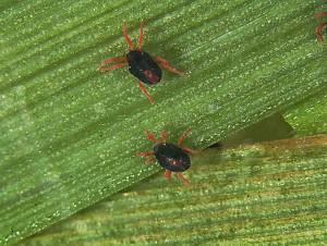 entomology.osu.edu nuotr.