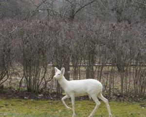 balta stirna-Tytuvėnų RPD nuotrauka