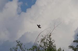 Jūrinį erelį puola krankliai | Aukštadvario regioninio parko direkcija, T. Špiliausko nuotr.