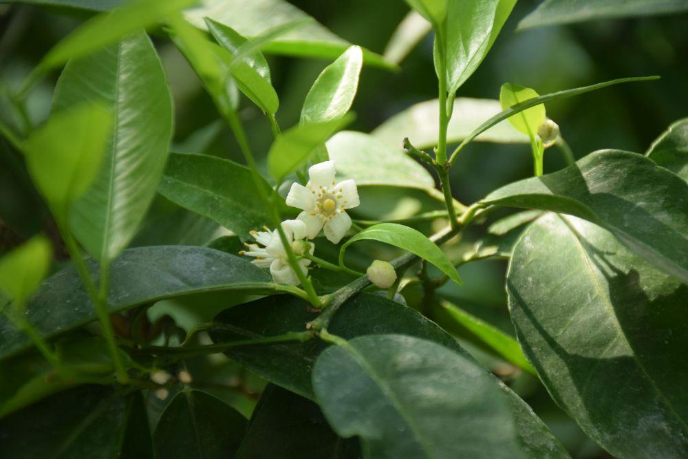 Mandarininis citrinmedis | VDU Kauno botanikos sodo nuotr.